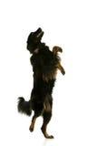 χορεύοντας σκυλί Στοκ φωτογραφία με δικαίωμα ελεύθερης χρήσης