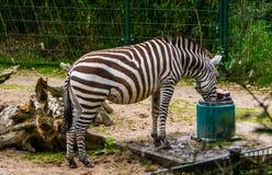 Χορηγεί το ζέβες πόσιμο νερό από ένα υδάτινο σύστημα, ζωική προσοχή ζωολογικών κήπων, κοντά απειλητικό ζωικό specie από τις πεδιά στοκ φωτογραφία με δικαίωμα ελεύθερης χρήσης