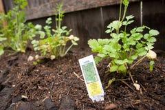 χορτάρι κήπων cilantro στοκ εικόνες