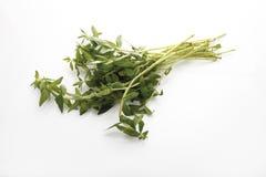 Χορτάρι ορυζώνα ρυζιού (aromatica Limnophila) Στοκ Εικόνες