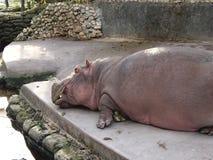 Χορτάρι το hippo Στοκ εικόνες με δικαίωμα ελεύθερης χρήσης