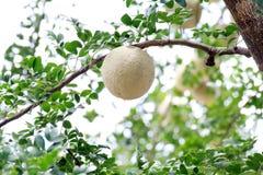 Χορτάρι Makwid, ξύλινος-Apple στο δέντρο των εδώδιμων ταϊλανδικών φρούτων της υπο-ηπείρου Ασία Στοκ Εικόνες