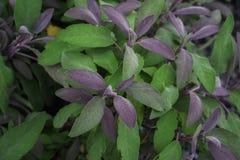 Χορτάρι officinalis Salvia Στοκ Εικόνες