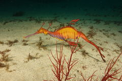 Χορταριασμένο seadragon στοκ φωτογραφία