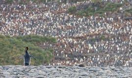 Χορωδία Penguin βασιλιάδων Στοκ εικόνα με δικαίωμα ελεύθερης χρήσης