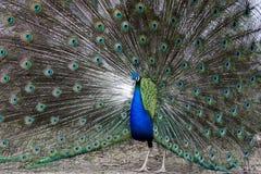 χορός που ζευγαρώνει peacock Στοκ Φωτογραφία