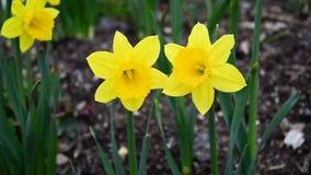 Χορός Daffodils απόθεμα βίντεο