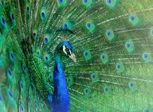 χορός peacock στοκ εικόνες