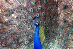 Χορός peacock Στοκ Φωτογραφία