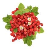 Χούφτα των άγριων φραουλών Στοκ εικόνα με δικαίωμα ελεύθερης χρήσης