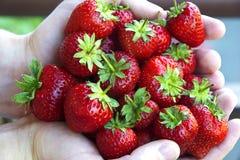 Χούφτα των φραουλών, οριζόντια Στοκ Φωτογραφίες