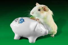 Χρήματα αποταμίευσης ινδικών χοιριδίων στο piggy κιβώτιο χρημάτων στοκ εικόνα