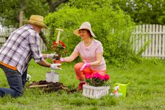 Χρήσιμος αγαπώντας σύζυγος που βοηθά τη σύζυγό του με τη φύτευση των λουλουδιών στοκ φωτογραφία με δικαίωμα ελεύθερης χρήσης