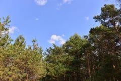 χρήσιμο δάσος πεύκων ανασκοπήσεων Στοκ φωτογραφία με δικαίωμα ελεύθερης χρήσης