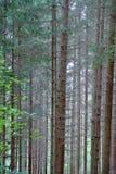 χρήσιμο δάσος πεύκων ανασκοπήσεων Στοκ εικόνα με δικαίωμα ελεύθερης χρήσης
