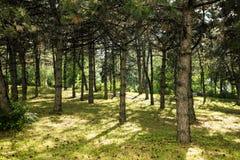 χρήσιμο δάσος πεύκων ανασκοπήσεων Πράσινο πάρκο στοκ εικόνα