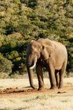 Χρειάζομαι το νερό - αφρικανικός ελέφαντας του Μπους Στοκ εικόνες με δικαίωμα ελεύθερης χρήσης