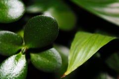 Χρημάτων εγχώρια λουλούδια βλάστησης εγκαταστάσεων εγκαταστάσεων φύσης δέντρων πράσινα Στοκ Φωτογραφία