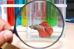 Χρησιμοποιήστε μια ενίσχυση - γυαλί για να δείτε τα ψάρια δαγκωμάτων σε ένα γυαλί στοκ εικόνες