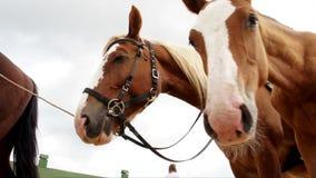 Χρησιμοποιημένα άλογα που μένουν outfdoors που ρουθουνίζουν τον αέρα φιλμ μικρού μήκους
