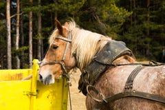 Χρησιμοποιημένο dray ή άλογο σχεδίων που περιμένει σε ένα κάρρο Στοκ Φωτογραφία