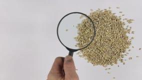 Χρησιμοποιώντας μια ενίσχυση - γυαλί για να αυξήσει το κριθάρι μαργαριταριών, που μελετά την ποιότητα των σιταριών απόθεμα βίντεο