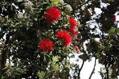 Χριστουγεννιάτικα δέντρα της Νέας Ζηλανδίας στο Ώκλαντ Α Στοκ φωτογραφία με δικαίωμα ελεύθερης χρήσης