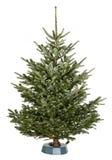 Χριστουγεννιάτικο δέντρο Nordmann Στοκ εικόνα με δικαίωμα ελεύθερης χρήσης