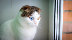 Χριστούγεννα - λίγη γάτα με το διαφορετικό χρώμα ματιών Στοκ φωτογραφία με δικαίωμα ελεύθερης χρήσης