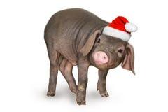 Χριστούγεννα και νέα κάρτα έτους με το χαριτωμένο νεογέννητο χοίρο χοιριδίων στο καπέλο santa που απομονώνεται στο άσπρο υπόβαθρο στοκ εικόνες