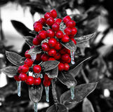 Χριστούγεννα μούρων Στοκ εικόνα με δικαίωμα ελεύθερης χρήσης