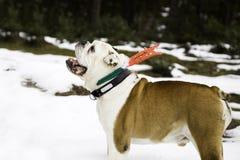 Χριστούγεννα σκυλιών του Bull στοκ εικόνα
