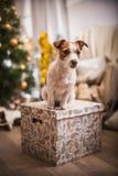 Χριστούγεννα σκυλιών, νέο έτος, τεριέ του Jack Russell Στοκ Εικόνες