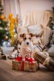 Χριστούγεννα σκυλιών, νέο έτος, τεριέ του Jack Russell Στοκ εικόνα με δικαίωμα ελεύθερης χρήσης