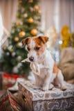 Χριστούγεννα σκυλιών, νέο έτος, τεριέ του Jack Russell Στοκ Εικόνα
