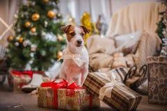 Χριστούγεννα σκυλιών, νέο έτος, τεριέ του Jack Russell Στοκ Φωτογραφίες
