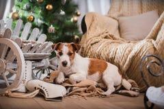 Χριστούγεννα σκυλιών, νέο έτος, τεριέ του Jack Russell Στοκ Φωτογραφία