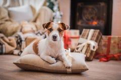 Χριστούγεννα σκυλιών, νέο έτος, τεριέ του Jack Russell Στοκ φωτογραφία με δικαίωμα ελεύθερης χρήσης