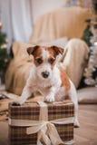 Χριστούγεννα σκυλιών, νέο έτος, τεριέ του Jack Russell Στοκ εικόνες με δικαίωμα ελεύθερης χρήσης