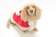 Χριστούγεννα dachshund Στοκ Φωτογραφίες