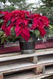 Χριστούγεννα Poinsettia στο εμπορευματοκιβώτιο Στοκ εικόνα με δικαίωμα ελεύθερης χρήσης