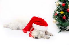 Χριστούγεννα schnauzer Στοκ Φωτογραφίες