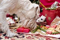 Χριστούγεννα Shnauzer Στοκ Φωτογραφίες