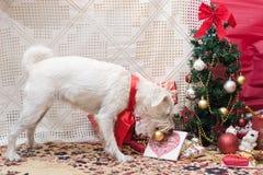 Χριστούγεννα Shnauzer Στοκ εικόνα με δικαίωμα ελεύθερης χρήσης