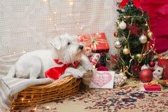 Χριστούγεννα Shnauzer Στοκ Εικόνα