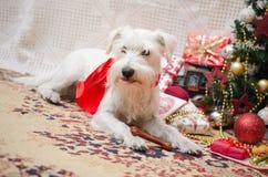 Χριστούγεννα Shnauzer Στοκ εικόνες με δικαίωμα ελεύθερης χρήσης