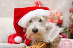 Χριστούγεννα Shnauzer Στοκ φωτογραφία με δικαίωμα ελεύθερης χρήσης