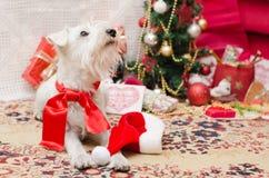 Χριστούγεννα Shnauzer Στοκ φωτογραφίες με δικαίωμα ελεύθερης χρήσης