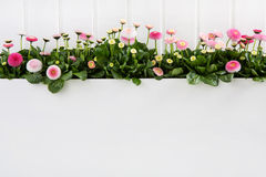 Χρονικά λουλούδια άνοιξη της Daisy ρόδινα στο άσπρο ξύλινο υπόβαθρο για το de Στοκ Εικόνες