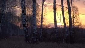 Χρονικό σφάλμα - ηλιοβασίλεμα την άνοιξη σε ένα δάσος σημύδων απόθεμα βίντεο